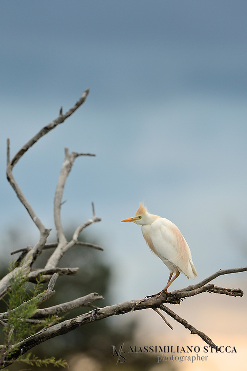 The Cattle Egret (Bubulcus ibis) is a cosmopolitan species of heron (family Ardeidae) found in the tropics, subtropics and warm temperate zones. It is the only member of the monotypic genus Bubulcus, although some authorities regard its two subspecies as full species, the Western Cattle Egret and the Eastern Cattle Egret. Despite the similarities in plumage to the egrets of the genus Egretta, it is more closely related to the herons of Ardea. Originally native to parts of Asia, Africa and Europe, it has undergone a rapid expansion in its distribution and successfully colonised much of the rest of the world.<br /> It is a white bird adorned with buff plumes in the breeding season. It nests in colonies, usually near bodies of water and often with other wading birds. The nest is a platform of sticks in trees or shrubs. Cattle Egrets exploit drier and open habitats more than other heron species. Their feeding habitats include seasonally inundated grasslands, pastures, farmlands, wetlands and rice paddies. They often accompany cattle or other large mammals, catching insect and small vertebrate prey disturbed by these animals. Some populations of the Cattle Egret are migratory and others show post-breeding dispersal.