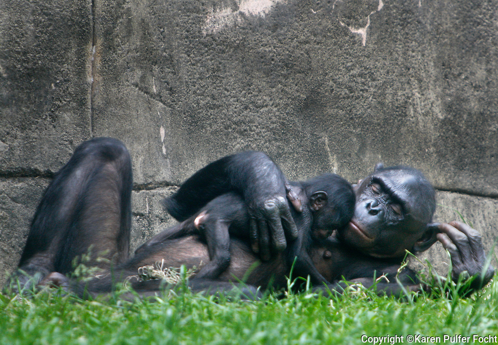 "May 22, 2014 - The second bonobo baby in two years, was born at the Memphis Zoo recently. ""Mpingo"", a baby boy was  born to parents ""Lily"" and ""Mofana""  on April 28th. Bonobo's are endangered and are also a matriarchal society. All the females int he troop will help raise Mpingo along with his half-brother, ""Mobali"" who was born last May. The mother and newborn play."