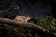 Rock Hyrax (Procavia capensis) traversing a tree limb at dawn in Matobo National Park, Zimbabwe.