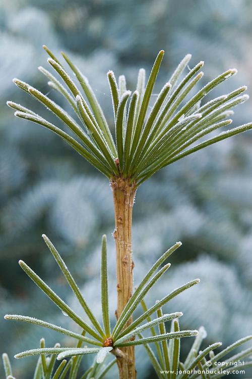 Frost on the leaves of Sciadopitys verticillata - umbrella pine