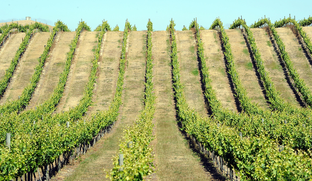 Paths between the vines brown up as the threat of hot weather and lack of rain, drought warnings are heightening in the Marlborough region, with fire bans and water restrictions, Blenheim, New Zealand, Tuesday, December 29, 2015. Credit:SNPA / Ross Setford