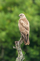 A Steppe Buzzard stares intently from a high perch. Addo Elephant National Park. Eastern Cape. South