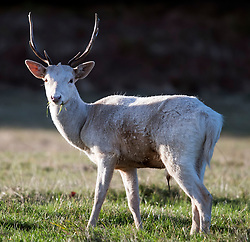 © Licensed to London News Pictures. 27/10/2018. London, UK. A rare albino deer, known as a 'Judas Deer, stands n the sunshine in Richmond Park, west London as a cold front hits the capital. snow is expected on high ground in northern parts of the UK over the weekend. Photo credit: Ben Cawthra/LNP
