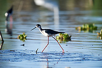 Black-necked Stilt (Himantopus mexicanus) searching for food along edge of Lake Chapala, Jocotopec, Jalisco, Mexico