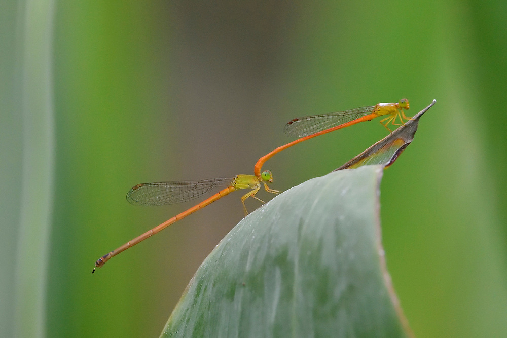 Dragonflies mating on a leaf, East Lake Greenway park, Wuhan, Hubei, China