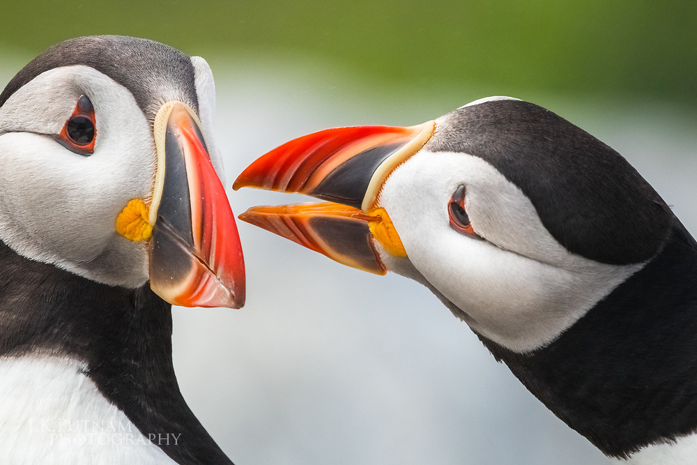 A close up of a pair of wild Atlantic puffins (Fratercula arctica) interacting with each other on Machias Seal Island in the Gulf of Maine.