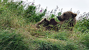 A brown bear sow known as Simba nurses her spring cubs on a bluff at the McNeil River State Game Sanctuary on the Kenai Peninsula, Alaska. The remote site is accessed only with a special permit and is the world's largest seasonal population of brown bears in their natural environment.