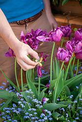 Deadheading tulips