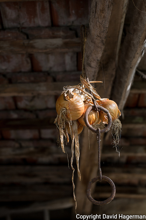 Onions, grown on the farm, dry in a barn at Valle Unite