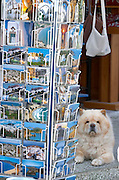 Chow-Chow guarding postcards.