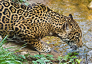 The Jaguar (Pathera onca), the largest cat in the Western Hemisphere, lives alone except during mating season and when the mother cares for her cubs. Each jaguar has a unique spot pattern, and some are entirely black with faint spots. As of 2003, only 10,00 - 15,000 jaguars remain in the wild, endangered due to habitat loss and human overhunting of its prey animals. Photographed in the Woodland Park Zoo, Seattle, Washington, USA.