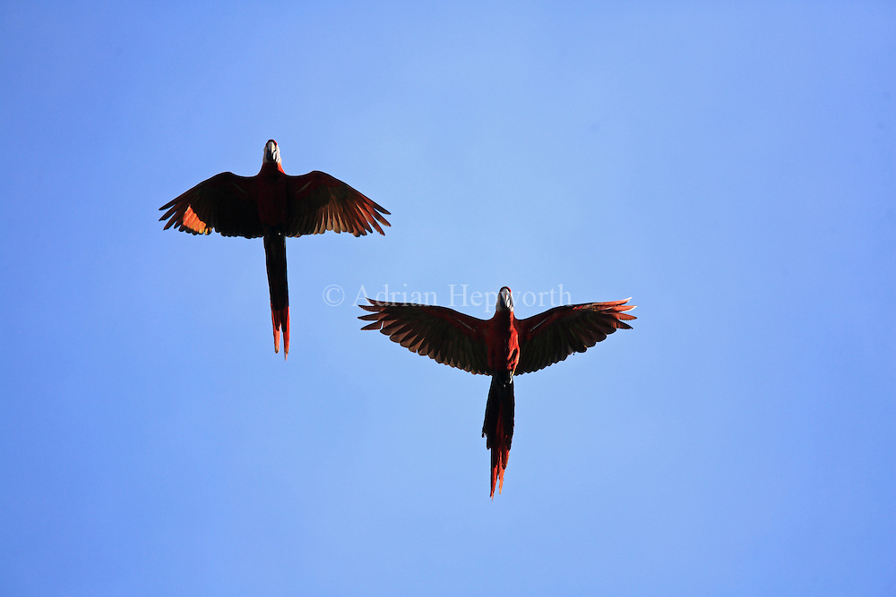Scarlet Macaws (Ara macao) flying. Corcovado National Park, Osa Peninsula, Costa Rica. <br />