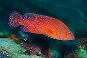 Miniatus Grouper (Cephalopholis miniata), a small predatory fish abundantly found on the Liberty Wreck in Tulamben, Bali, Indonesia.