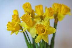 THEMENBILD - ein Strauß gelber Narzisse (Narcissus pseudonarcissus), auch Osterglocke oder Osterglöckchen genannt, aufgenommen am 02. März 2018, Ort, Österreich // a bouquet of yellow Narcissus (Narcissus pseudonarcissus), also called Osterglocke or Osterglöckchen on 2018/03/02, Ort, Austria. EXPA Pictures © 2018, PhotoCredit: EXPA/ Stefanie Oberhauser