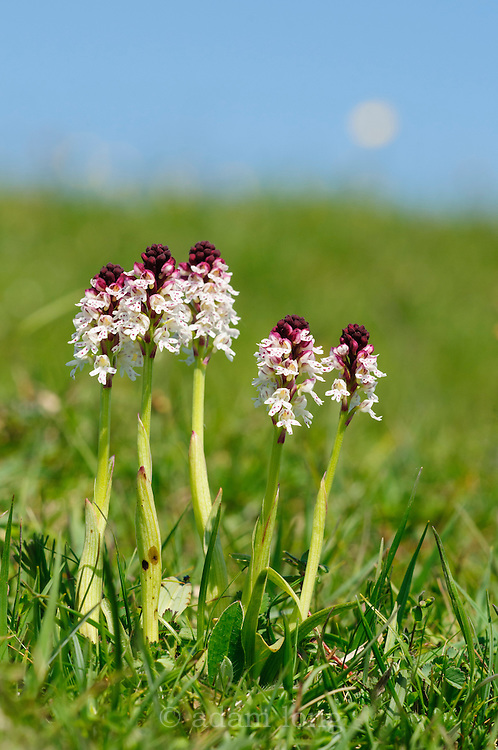 The Burnt Orchid Neotinea (formely Orchis) ustulata hangs on at a few sites in the southern limestone areas of the Peak District