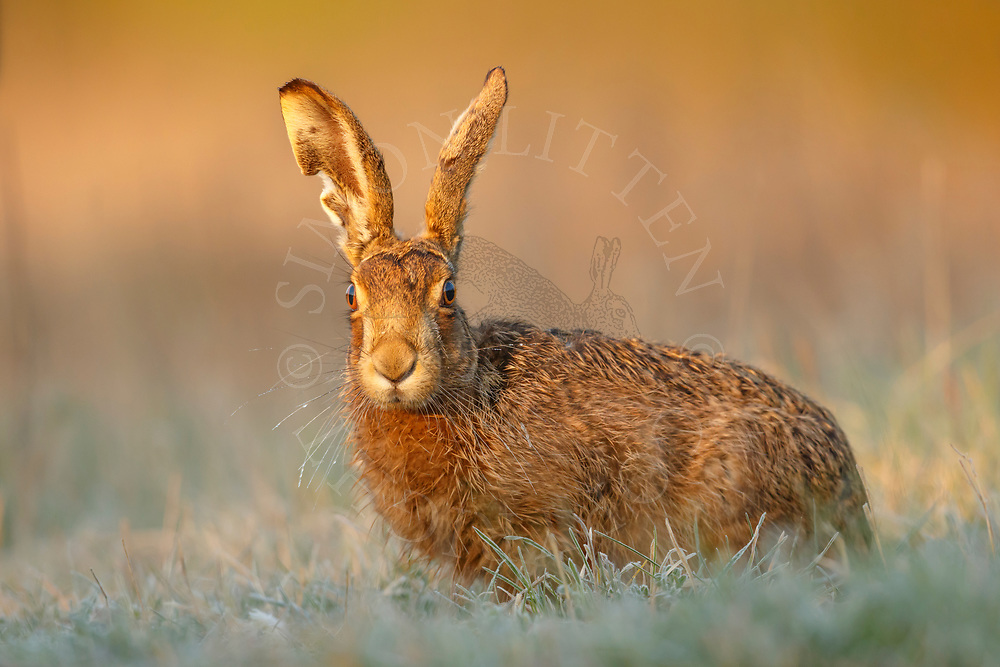 European Hare (Lepus europaeus) adult in grass margin during frost, South Norfolk, UK. April