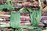 Sugar cane, Guadeloupe, Caraibe, France