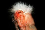 Rote Zuckm&uuml;ckenlarve (Chironomus) Die Rote Zuckm&uuml;ckenlarve (Chironomus) ist in allen Gew&auml;sserg&uuml;teklassen zu finden,<br /> bevorzugt leben sie aber in stark verschmutzten Gew&auml;ssern, teilweise in<br /> Abwassergr&auml;ben. &Auml;hnlich wie der Rote Schlammr&ouml;hrenwurm bauen sie sich<br /> Wohnr&ouml;hren und nutzen die organischen Substanzen der Sedimente als Nahrung. Als<br /> Anpassung an diese sauerstoffarme Umgebung, hat die Rote Zuckm&uuml;ckenlarve<br /> H&auml;moglobin im Blut und kann so den geringen Sauerstoffanteil des Wassers ideal<br /> ausnutzen | Chironomidae (informally known as chironomids or non-biting midges) are a family of nematoceran flies with a global distribution. Larvae are important as food items for fish and other aquatic organisms. They are also important as indicator organisms, i.e., the presence, absence, or quantities of various species in a given body of water can indicate whether pollutants may be present.