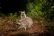 Northern Raccoon (Procyon lotor)<br /> TEXAS: Bastrop Co.<br /> Stengl &quot;Lost Pines&quot; Biological Station; Smithville<br /> 28.April.2009<br /> J.C. Abbott<br /> photographed with trap camera