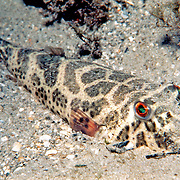Checkered Puffer inhabits shallow bays, inlests and protected inshore waters in areas of sand, rubble and sea grass in Tropical West Atlantic; picture taken Jupiter, FL.