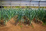 Organic leeks during an open day at Can Tria de Mata, near Mataro, Barcelona, Catalonia. (c) Dave Walsh 2017