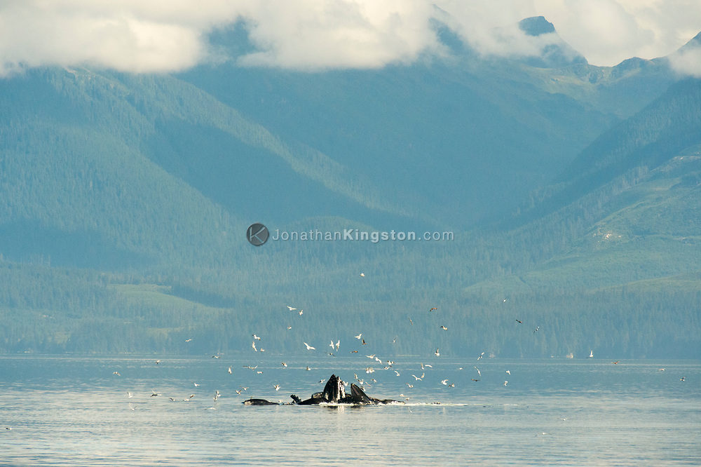 A group of humpback whales (Megaptera novaeangliae) collaboratively feeding on small fish in the waters of Alaska's inside passage.  Seagulls fly close by to cherry-pick fish that have been chased to the surface by the whales.