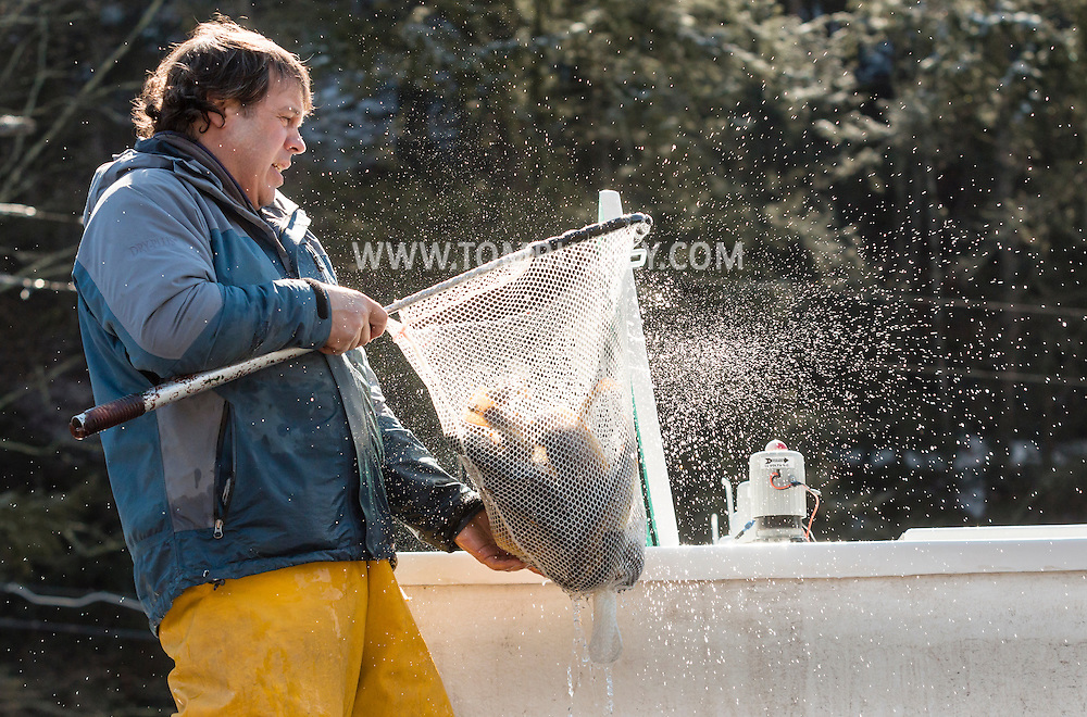 Joe Gennarino of the Department of Environmental Conservation's Catskill fish hatchery carries a net full of trout to be released into the Neversink River in Myers Grove on  the opening day of trout season in New York State. The DEC stocked 5,450 yearling brown trout and 550 two year-old brown trout in the Neversink.