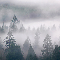 Mist above pine trees