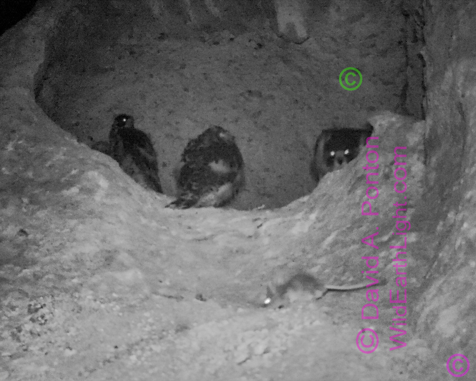 Packrat exploring area near peregrine falcon eyrie with adult female peregrine watching, crouching as if to attack, juveniles close by. [photo by motion-activated infrared camera, low-resolution limits repro. size] © 2016 David A. Ponton