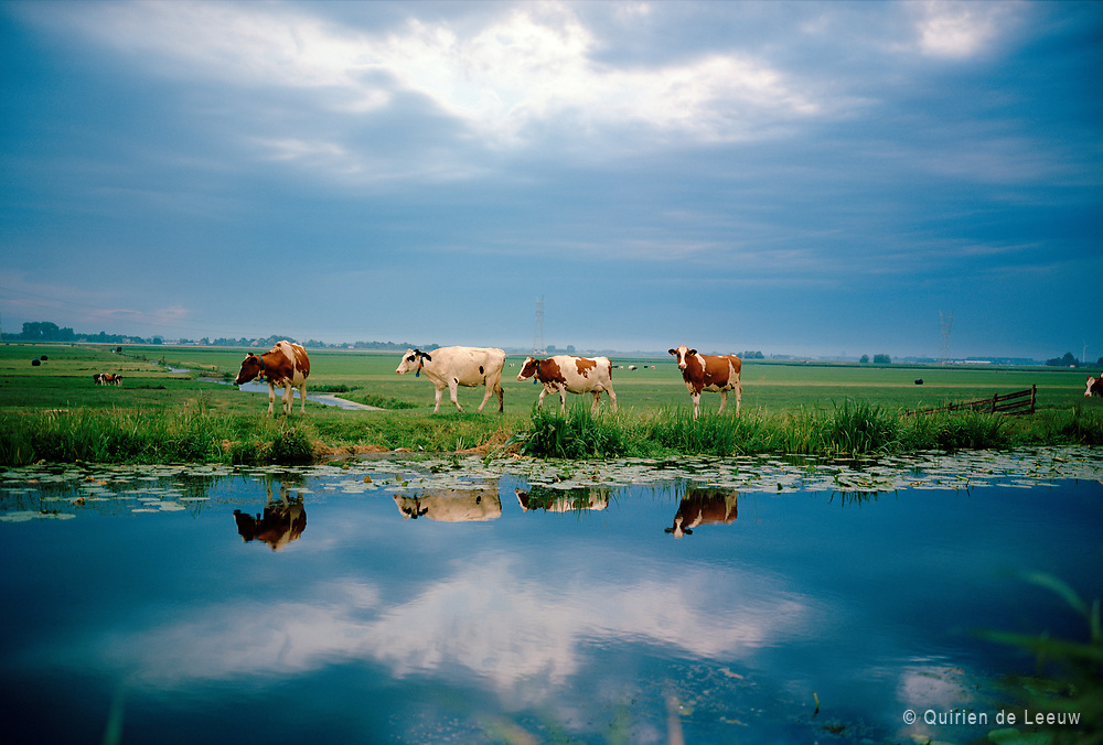 Cows in Dutch landscape on a cloudy summer day. The Groene Hart, South Holland province.
