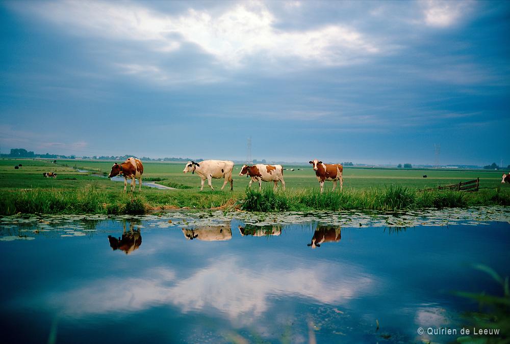Cows in dutch landscape, North of Holland, Netherlands. Holland Kodak Ektar collection.