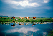 Cows pose in Dutch summer landscape, Het Groene Hart, South of Holland province.