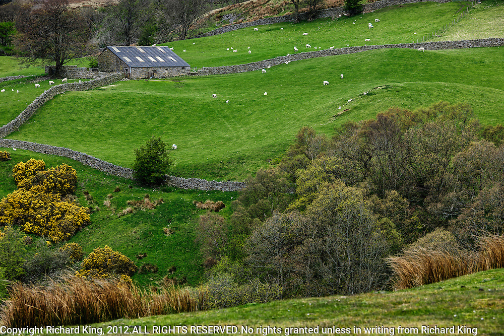 Gorgeous color photograph of barn, dry-stone walls, sheep and lambs during lambing season in The English Lake District National Park