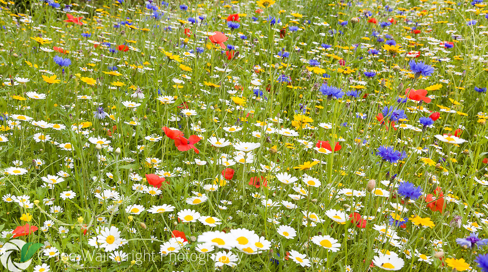 Wildflowers including daisies, poppies, field marigolds and cornflowers.