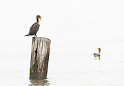 Two Double-Crested Cormorants checking each other out on a foggy morning on the Delaware Bay