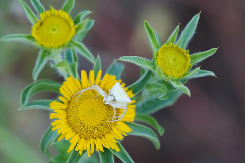 Crab spider (Misumena spec.) on Elecampane (Inularia helenium), waiting for prey, San Marino.
