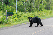 A black bear hangs out near a mailbox in Barnes, Wisconsin.