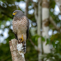 A roadside hawk perches on branches over the Yanayacu River in the Peruvian Amazon.