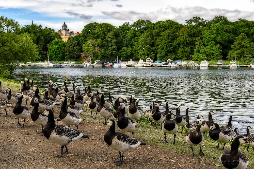 Canada goose on Djurgården, Stockholm.