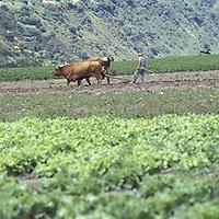 Hombre labrando la tierra ayudado por bueyes, Estado Merida, Venezuela