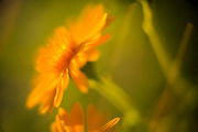 Closeup crop of a vibrant yellow and orange Daisy