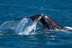 Water gushes off a Humpback whale's tail just north of Broome off Willie Creek.