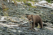 A Brown bear spring cub struggles with a large salmon on the beach at the lower lagoon at the McNeil River State Game Sanctuary on the Kenai Peninsula, Alaska. The remote site is accessed only with a special permit and is the world's largest seasonal population of brown bears in their natural environment.