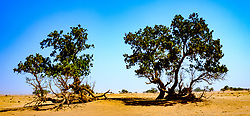 Trees growing in the Moroccan Sahara Desert<br /> <br /> (c) Andrew Wilson | Edinburgh Elite media