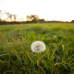 A dandelion in a hay field in Ipswich Massachusetts USA