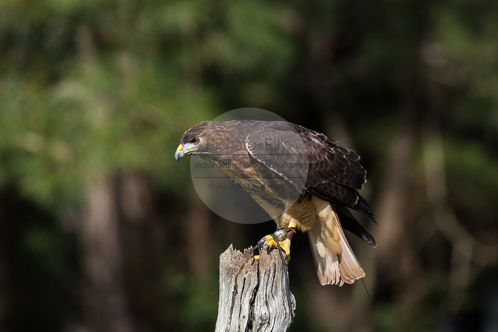 Red tailed hawk perched on a tree stump at the Center for Birds of Prey November 15, 2015 in Awendaw, SC.