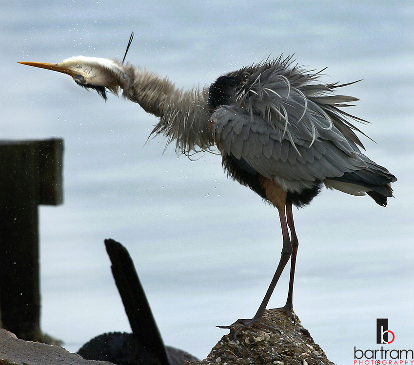 KEVIN BARTRAM/The Daily News.A heron twists its neck as it shakes water off during a break in the rain on Monday, March 7, 2005 near the Causeway.