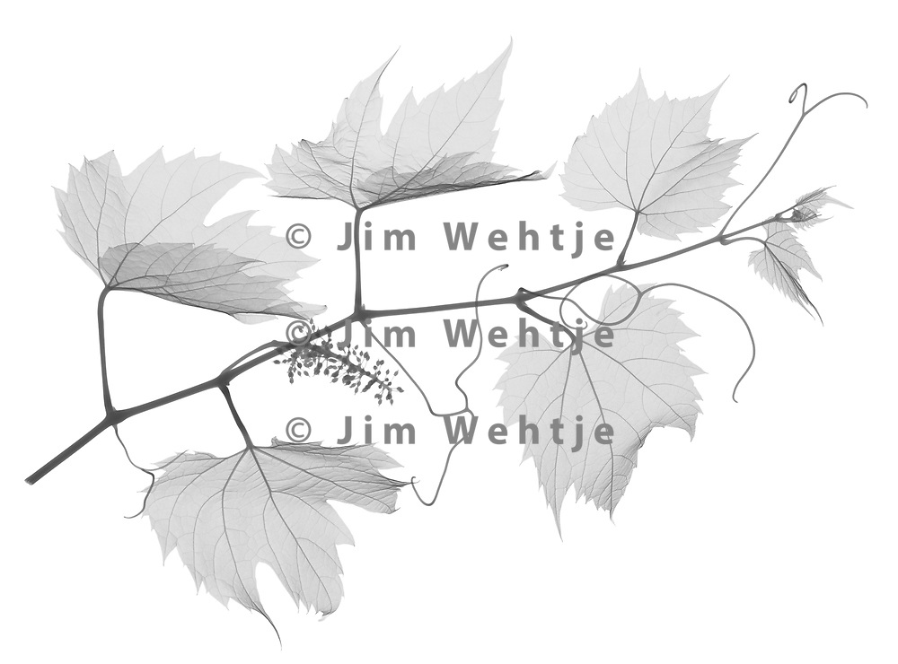 X-ray image of a wild grape vine (Vitis sylvestris, black on white) by Jim Wehtje, specialist in x-ray art and design images.