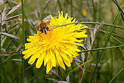 A bumble bee is seen on a dandelion at The Cliffs of Moher in County Clare, Ireland on Friday June 21st 2013. (Photo by Brian Garfinkel)