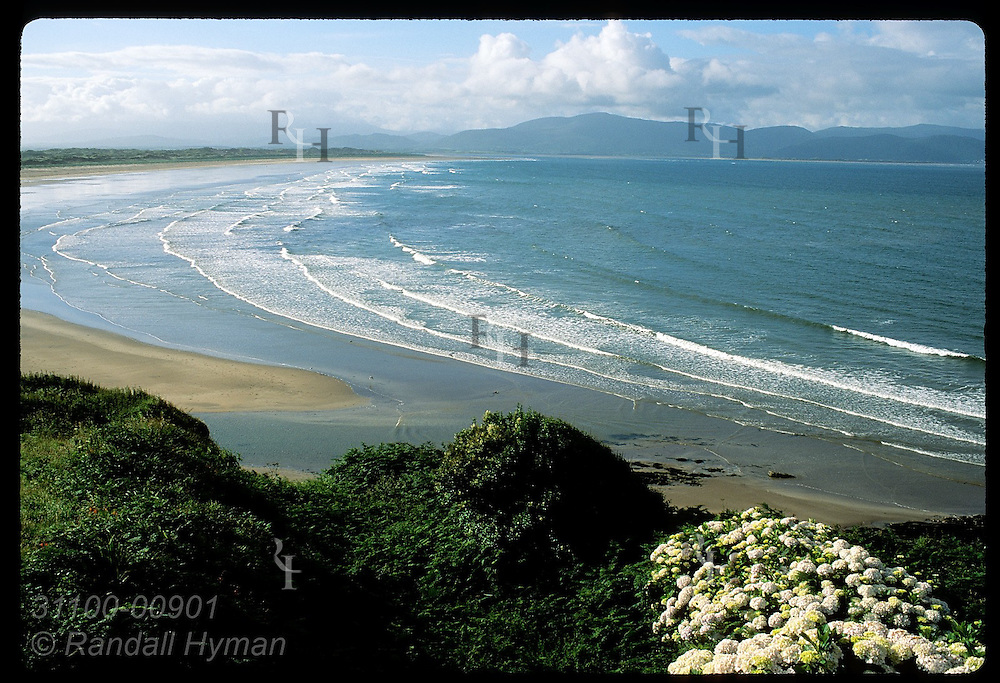 View of Inch Strand and Iveragh Peninsula with flowers and foliage in foreground; Dingle. Ireland